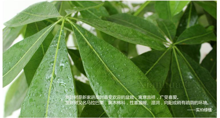 品种(盛花期):发财树