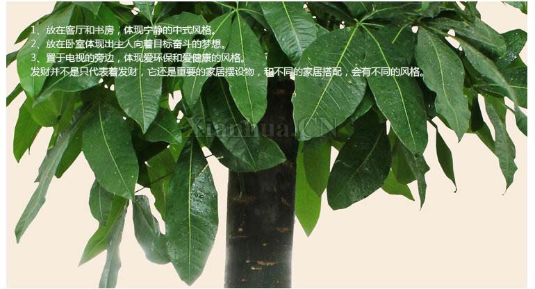 [品种(盛花期)] 发财树