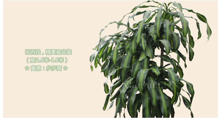 巴西铁,别名:香龙血树,巴西铁树,巴西千年木,金边香龙血树,为百合科龙