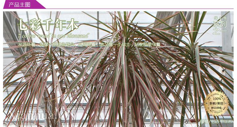 七彩千年木 它就像是一把伞