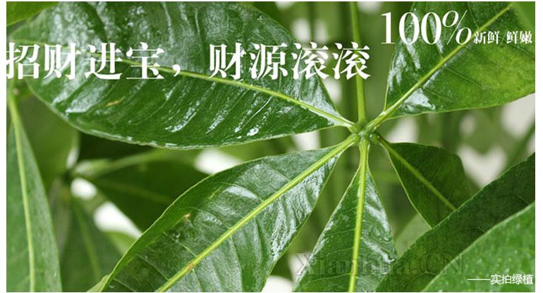 品种(盛花期): 发财树