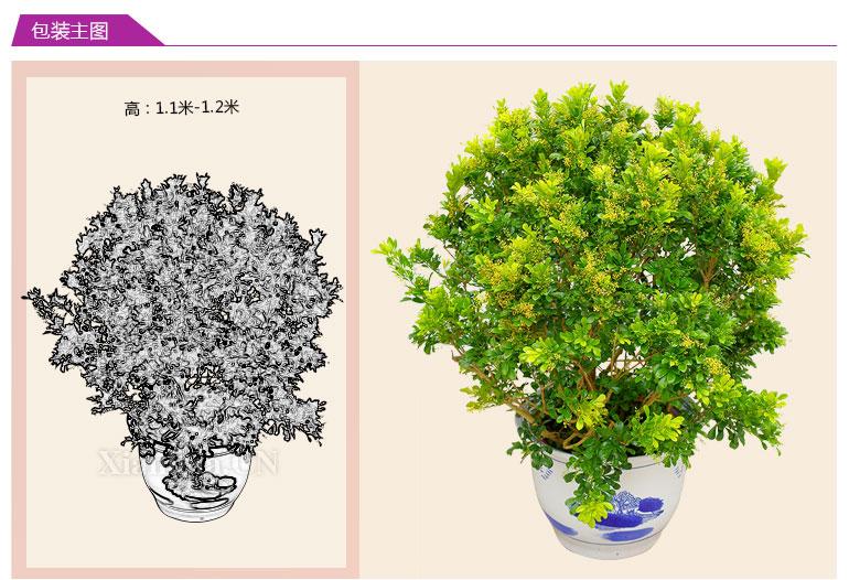 米兰花 绿植花卉【图片