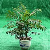 袖珍椰子树 一抹绿意供养身心