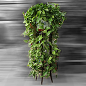 绿萝 绿色世界每一天