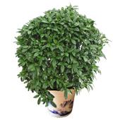 非洲茉莉 朴素自然,清净纯洁