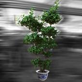 榕树 四季常绿你是我重要的回忆
