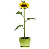 向日葵 永不低头
